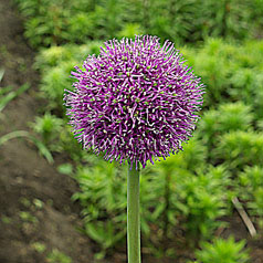 ALLIUM CULTIVAR No2256