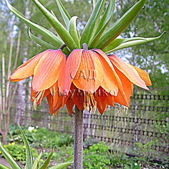 FRITILLARIA imperialis hort. 'Orange Wonder'