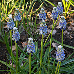 MUSCARI armeniacum hort. 'PEPPERMINT'