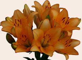 Лилии сорта для сибири